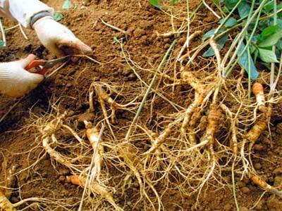 Chuẩn bị đất trồng nhân sâm