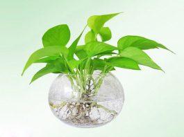 Giới thiệu về cây ngọ dạ thần
